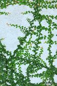 pic of creeper  - Close up of green creeper plant on wall - JPG