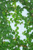 image of creeper  - Close up of green creeper plant on wall - JPG