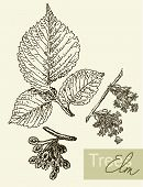 picture of elm  - Vintage graphic vector image of leaves - JPG