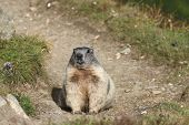 picture of marmot  - Alpine Marmot  - JPG