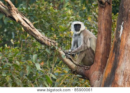 Hanuman Langur perched on a tree, looking front, Bardia, Nepal
