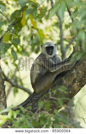 Hanuman Langur Monkey In Nepal