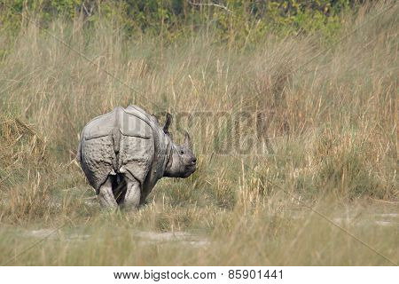 Greater One-horned Rhinoceros in the riverbank at bardia national park, Nepal