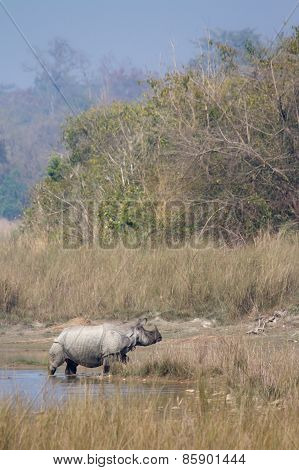 Greater One-horned Rhinoceros crossing the river at Bardia national park, Nepal.