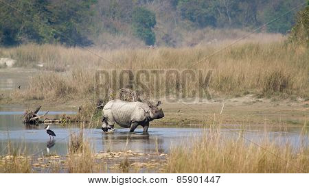 greater one-horned rhinoceros crossing the river at Bardia national park, Nepal
