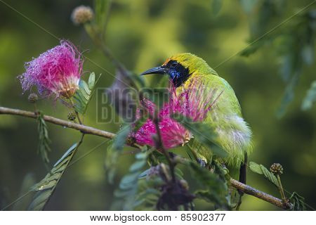 Golden-fronted Leafbird In Red Powder Puff Tree