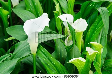 Calla Lily White Flower And Green Leaves
