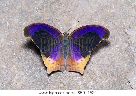 Top View Of Great Assyrian (terinos Atlita) Butterfly