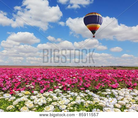 Field of the blossoming buttercups - ranunculus of white and lilac color. Windy spring day. Huge balloon flies over a field