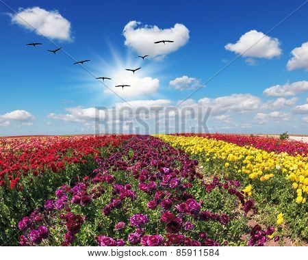 The field of flowers. Flies over a field flock of cranes. Flowers grow stripes of different colors - red, pink, maroon and yellow