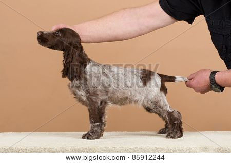 Exhibition Training Of English Cocker Spaniel
