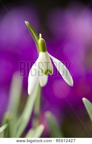 Snowdrop Bloom In Springtime