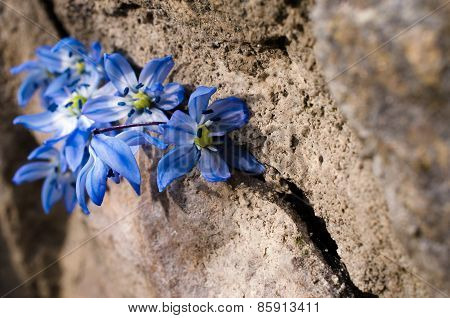 First Bluebell Flowers Are In The Crevice Of A Large Stone