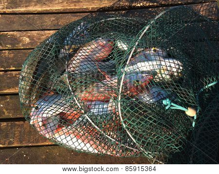 Fish In The Net