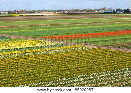 Dutch Landscape with Tulips Daffodils Fields