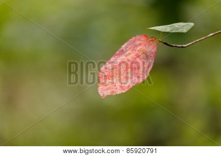 Red And Green Leaf On Twig