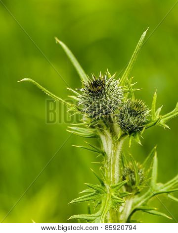 Closeup Of Green Thistle