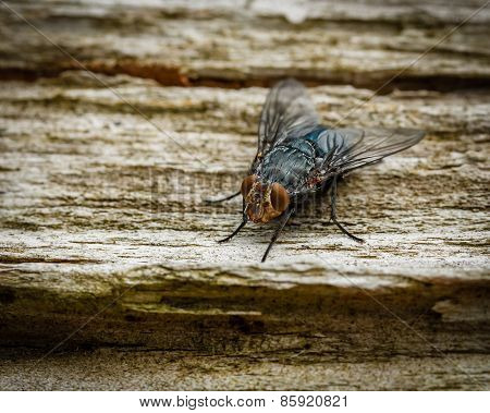 Closeup Of Fly On Wood