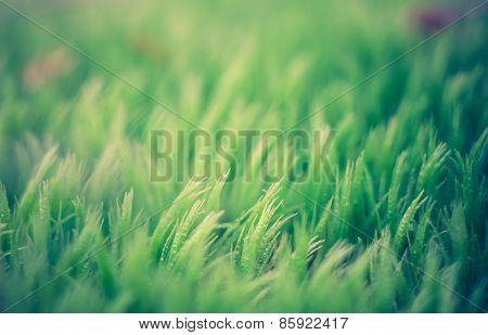 Vintage Photo Of Moss Close Up