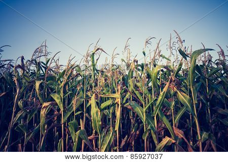 Vintage Photo Of Corn Field
