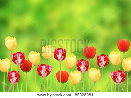 Flowers of a tulips on green background