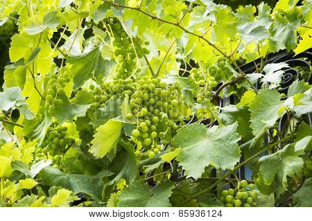 Grapes Growing On A Hillside In The South Of France