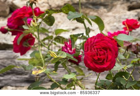 Old-fashioned red roses growing on an ancient stone wall in the South of France
