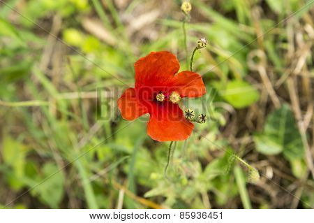 Red Poppy Of Remembrance Growing In a Field in France
