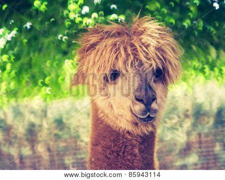 Vintage Alpaca Portrait