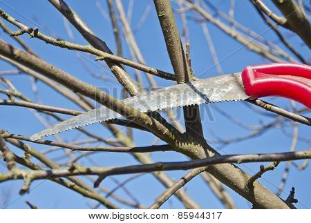 Cut Prune Apple Tree Branch In Spring Garden With Handsaw