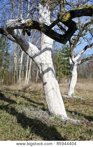 Two  Whitened Apple Tree Trunk In Spring Garden