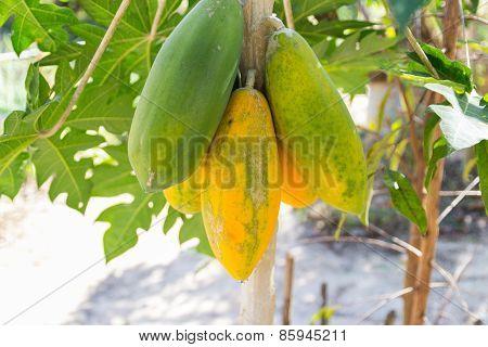 Papaya Fruit On Tree Trunk