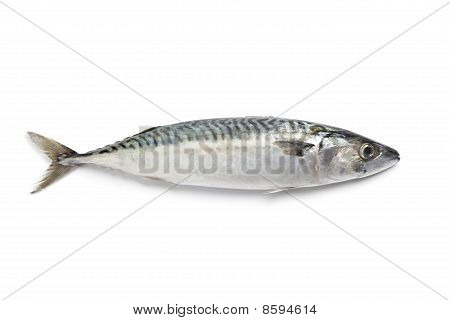 Whole single fresh raw mackerel