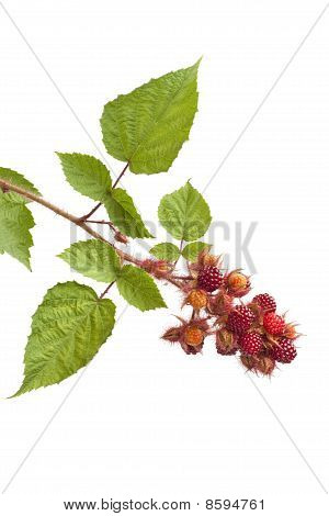 Branch of edible Japanese Wineberry