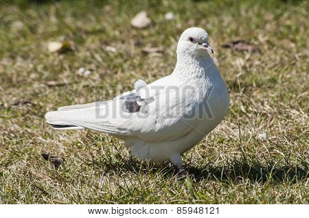 White rock feral pigeon doves