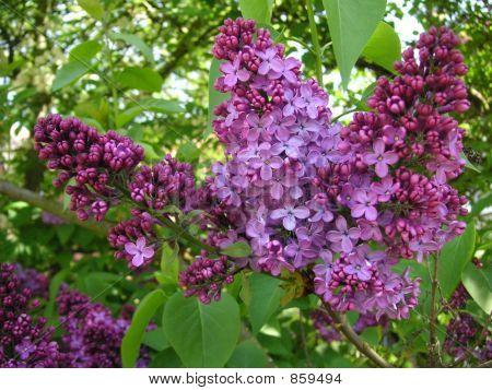 lilac tree flowers