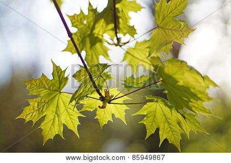 Young Maple Leaves