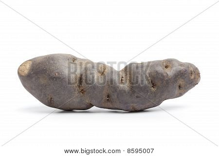 Whole single fresh Vitelotte noir potato