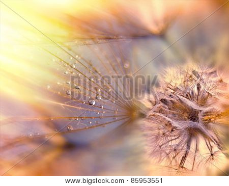 Dandelion seeds - fluffy blowball (dandelion)