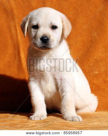 The Nice Yellow Labrador Puppy On Orange Background