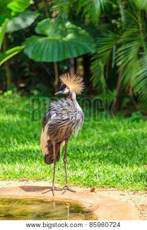 Magnificent Crowned Crane. Picturesque bird in the South American zoo of exotic tropical birds