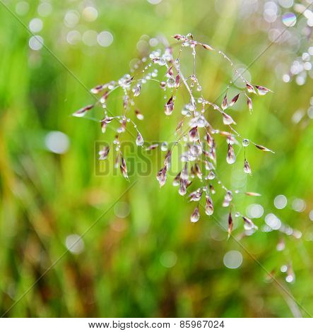 Drops Of Dew On The Grass