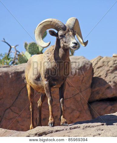 A Bighorn Sheep Ram Portrait, Ovis Canadensis