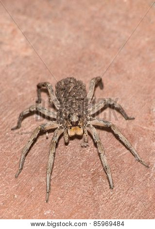 Wolf Spider Carrying Her Young