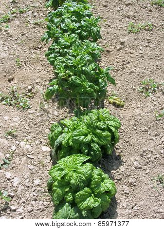 Array Of Basil Varieties