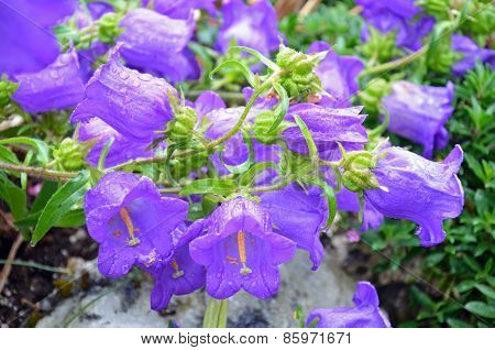 Purple Canterbury Bellflowers