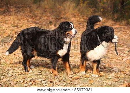 Gorgeous Bernese Mountain Dogs Standing In Autumn Forest
