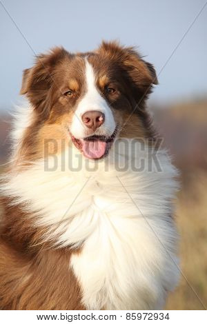 Amazing Beautiful Australian Shepherd Looking At You