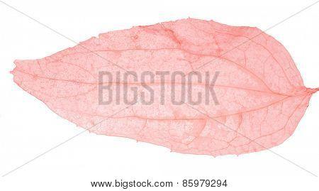 light red leaf skeleton isolated on white background