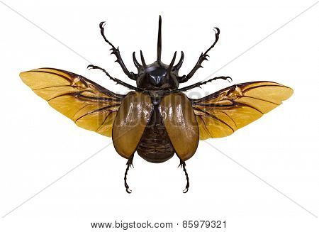 flying rhinoceros beetle isolated on white background